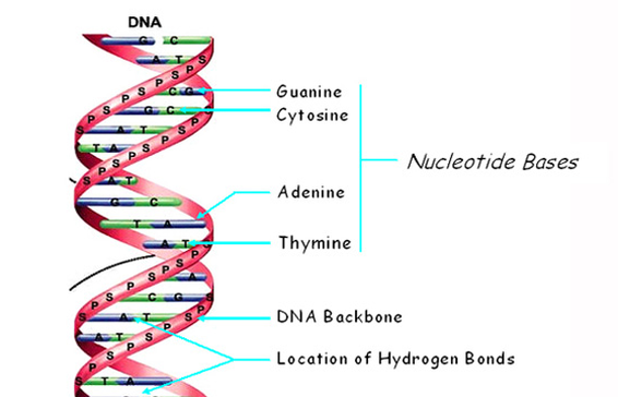 Stucture of dna science